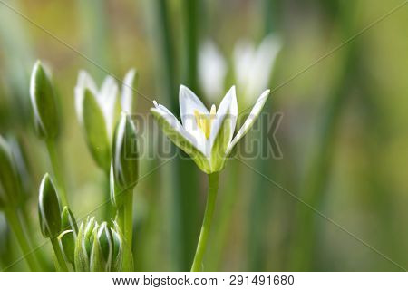 Little White Ornithogalum Flowers also known as Grass Lily.