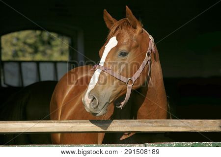Thoroughbred Chestnut Youngster Posing At Stable Door Against Black Natural Background Summertime. P