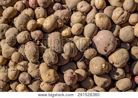Unwashed Potatoes After Harvesting Close Up, Agriculture