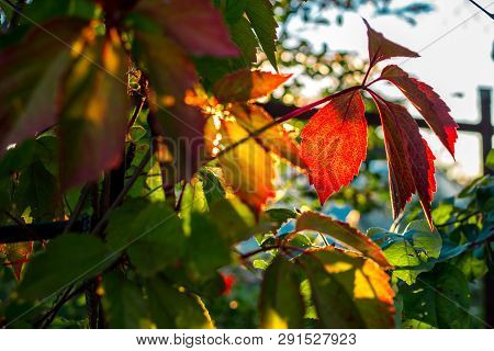Beautiful Leaves Of Virginia Creeper (parthenocissus Quinquefolia) Lit By The Setting Sun, Summer, A