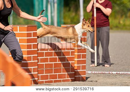 Smooth Collie Jumping Over A Hurdle In Dog Agility Competition. Fun Outdoor Sports Action Ion A Sunn