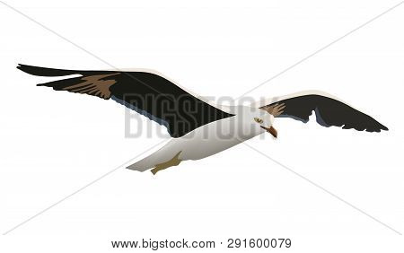 Hovering Gull Bird With Outspread Black Wings, White Feathers, Yellow Beak, The Common Soaring Seagu