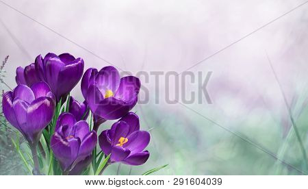 Beautiful Nature Spring Background. First Spring Flowers. Floral Template With Blooming Purple Crocu