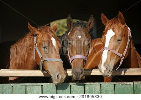 Nice Curious Thoroughbred Foals Standing  In The Stable Door. Purebred Chestnut Youngsters Standing