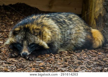 Adorable Closeup Portrait Of A Raccoon Dog Laying On The Ground And Watching In The Camera, Animal F