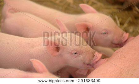 Piglets Drink Milk From Sow. Big Pig Lies On Straw. Domestic Animals Got Hungry. Pigpen At The Farm.