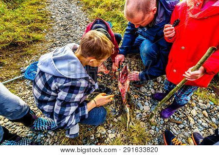 Mission, Bc / Canada - Nov. 12, 2018: Parent Showing Kids A Dissected Pink Salmon After Spawning In