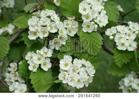Florescence Of Northern Downy Hawthorn In Mid Spring