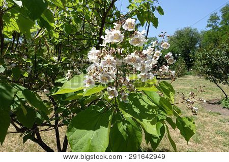 Blossoming Catalpa Tree In The Park In June