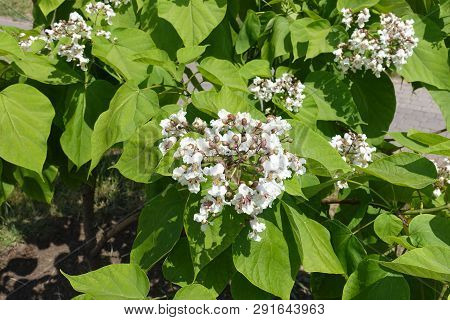 Buds And White Flowers Of Catalpa In June