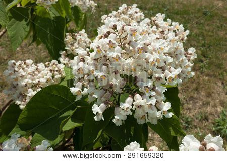 Big White Flowers Of Catalpa Tree In June