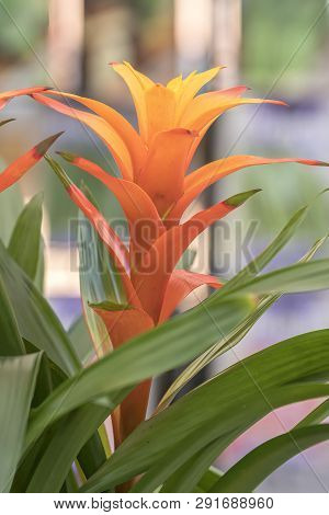 Guzmania Lingulata In The Vase