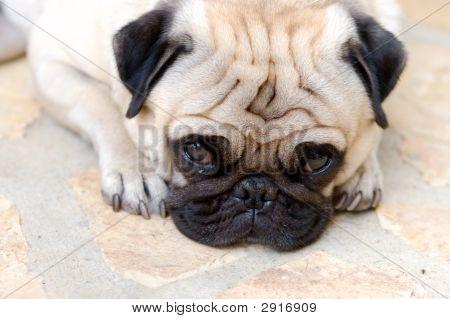 Portrait Of A Little Pug