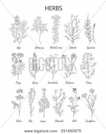 Hand Drawn Herbs And Wild Flowers Collection Isolated