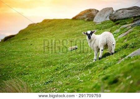 Sheep Marked With Colorful Dye Grazing In Green Pastures Of Ireland