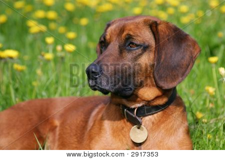 One Dog In Bloom Meadow