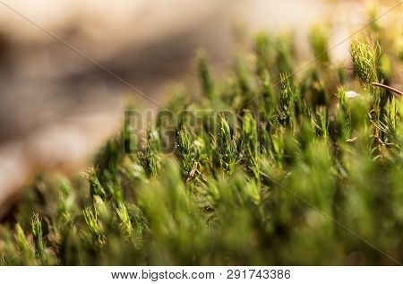 Beautiful Green Moss In The Sunlight, Moss Closeup, Macro. Moss Grows On The Tree, Beautiful Backgro