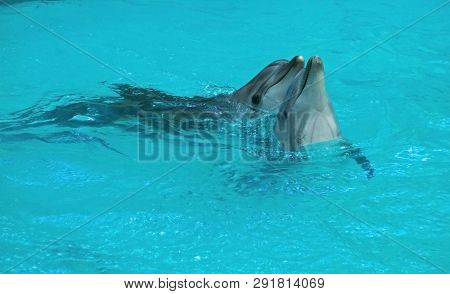 Dolphin. Black Sea Bottlenose Dolphin (tursiops Truncatus Ponticus).the Popularity Of The Bottlenose