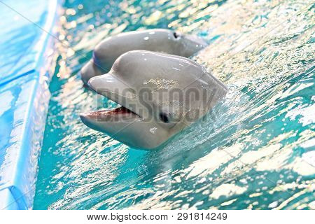 The beluga whale or white whale (Delphinapterus leucas) is an Arctic and sub-Arctic cetacean.Belugas are one of the most commonly kept cetaceans in captivity and are housed in aquariums, dolphinariums poster
