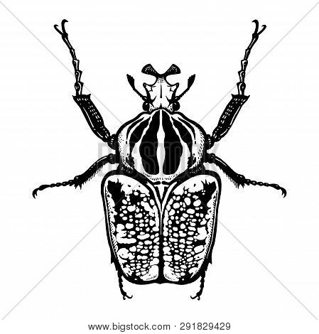 Goliath.black And White Sketch. Insect Beetle Isolated On White Background. Realistic Drawing Bug. V