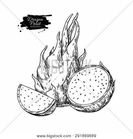 Dragon Fruit Vector Drawing. Hand Drawn Tropical Food Illustration. Engraved Summer Dragonfruit