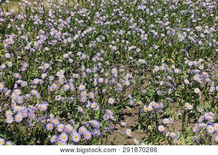 Florescence Of Erigeron Speciosus Plants In Early June