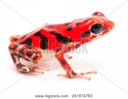 vibrant red poison dart frog. Tropical poisonous rain forest animal, Oophaga pumilio isolated on a white background.