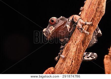 Spiny headed tree frog, Anotheca spinosa. A beautiful tropicla rain forest animal of the Amazonian jungle.