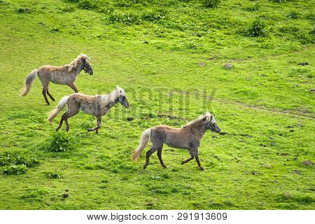 Three Grey Horses Running Wild On A Green Meadow In The Spring