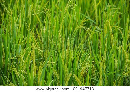 Rice Field Background Texture Close-up