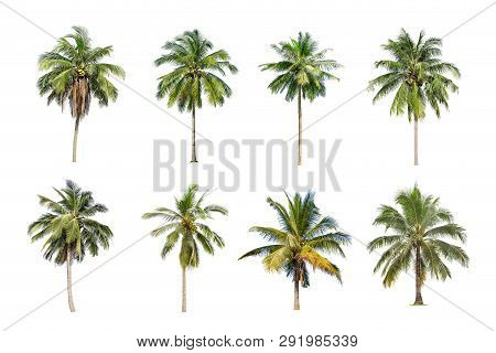 Isolated Big Coconut Tree On White Background.the Collection Of Coconut Trees. Tropical Trees Isolat