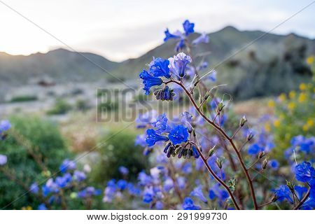 Canterbury Bells Wildflowers (phacelia Campanularia) In Joshua Tree National Park During Californias
