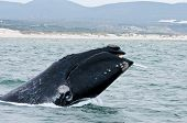 A Southern Right Whale breaching just off the coast of Hermanus in South Africa. poster