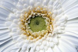 White Flower Aster, Top View Centered, For Floral Background