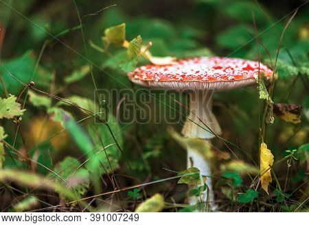 Beautiful Fly-agaric In The Autumn Forest. Nature