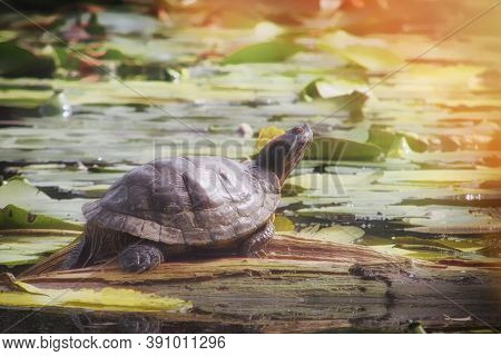 Red-eared Turtle In The Pond On The Board. Turtle In A Non-native Habitat. Trachemys Scripta Basking