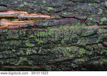 Dark Wet Tree Bark With Wood Exposed Covered In Green Moss Lichen Spots