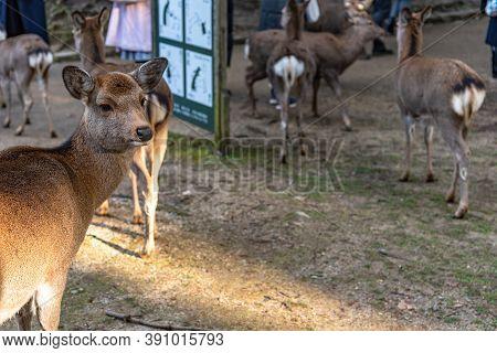 Deer In The Kasuga Grand Shrine, Nara Park Area. In Here, The Deers Are Freely Roaming Around In Tem