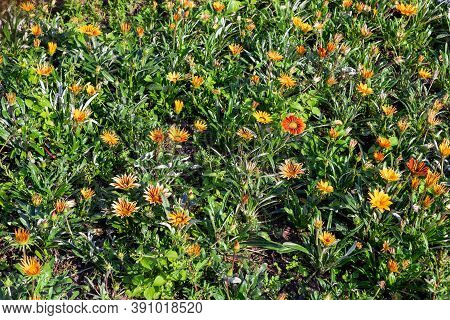 Gazania Orange Flowers In The Garden, Background.