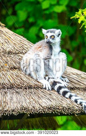 Ring-tailed Lemur - Endemic Animal Of Madagascar. Sitting On The Roof.