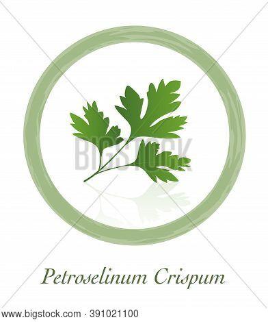 Parsley - Petroselinum Crispum - Culinary Herb Logo - Isolated Vector Illustration On White Backgrou