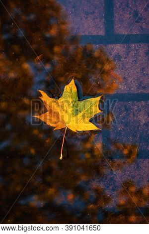 Vertical Fall Autumn Nature Background With Fallen Maple Leaf In Water, Reflected In A Puddle. Autum