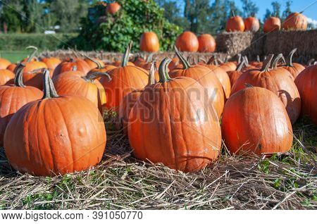 Large, Orange Pumpkins For Sale At A Pumpkin Patch.  Pumpkin Harvest. With Straw And Hay.
