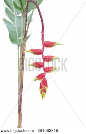 Red Heliconia Flower Or Claw Flower Bloom On Tree In The Garden Isolated On White Background Include