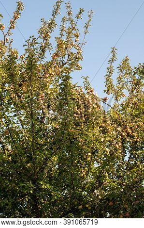 The Branches Of An Apple Tree With Hanging Fruits On A Sunny Day In Autumn