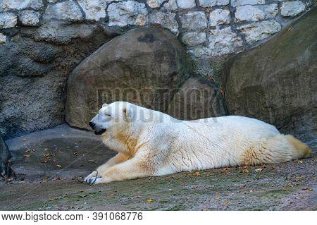 Close Up Of Polar Bear Or Ursus Maritimus