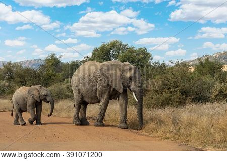 Mother With Baby Of African Elephant In Pilanesberg Game Reserve. South Africa Wildlife Safari.