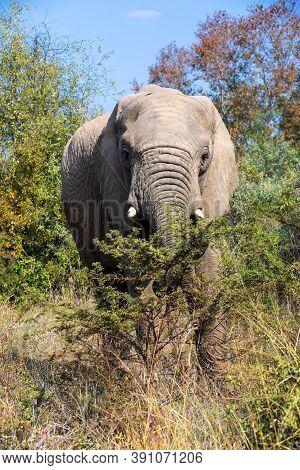 African Elephant Graze On Acacia Tree In Pilanesberg Game Reserve. South Africa Wildlife Safari.