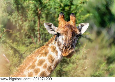 Cute South African Giraffe, Pilanesberg National Park, South Africa Safari Wildlife