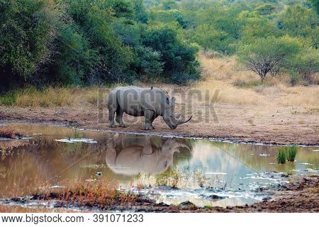 Endangered White Rhinoceros On Small Muddy Water In Pilanesberg National Park & Game Reserve, South